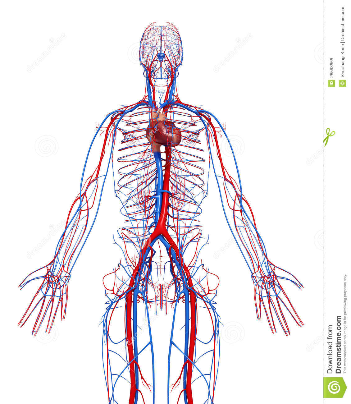 Circulatory System Of Male With Heart Royalty Free Image – Circulatory System Diagram Worksheet