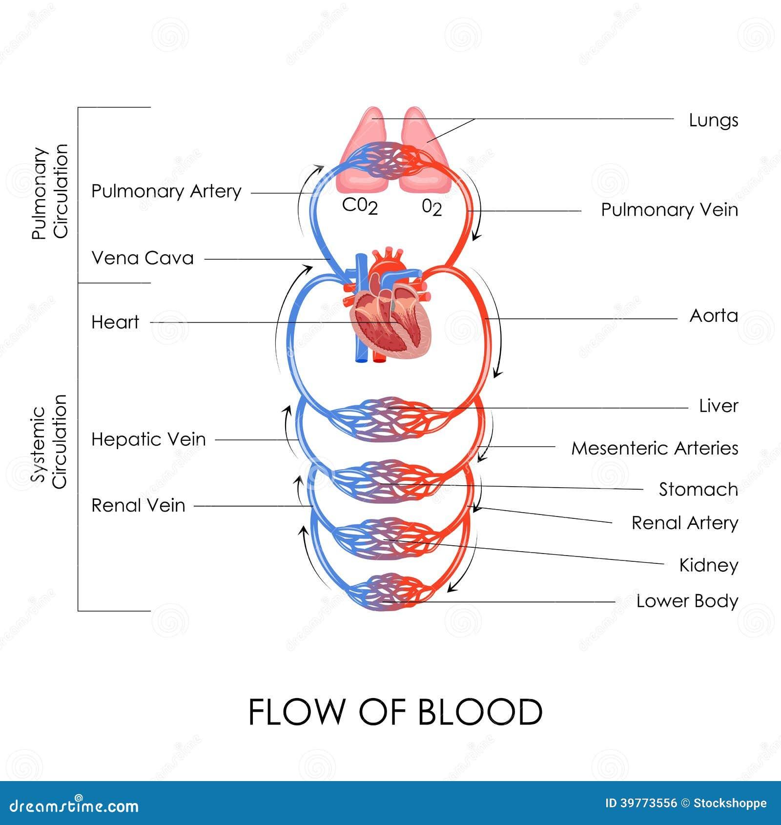 circulatory system stock vector illustration of illustration 39773556. Black Bedroom Furniture Sets. Home Design Ideas