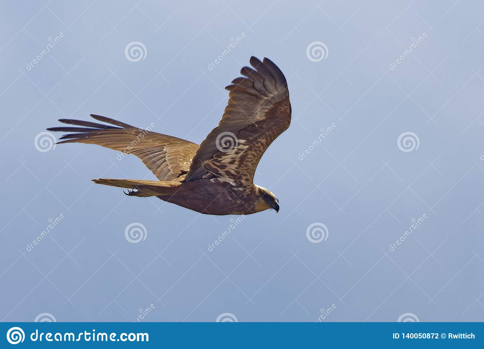 Circus aeruginosus, Marsh Harrier