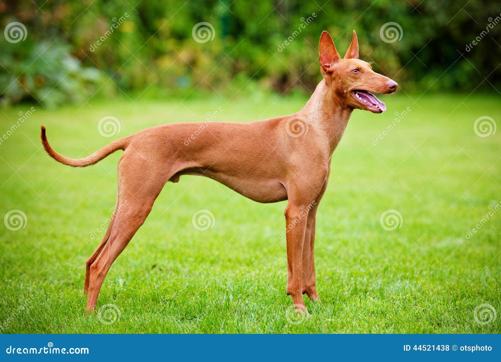 Cirneco delletna hund