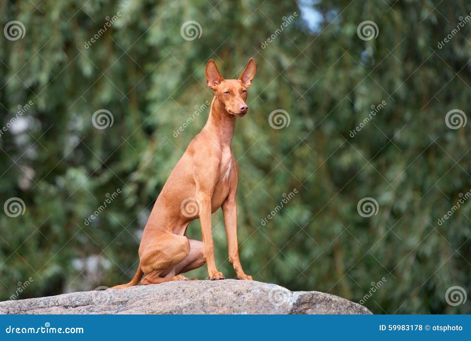 Cirneco delletna hund utomhus