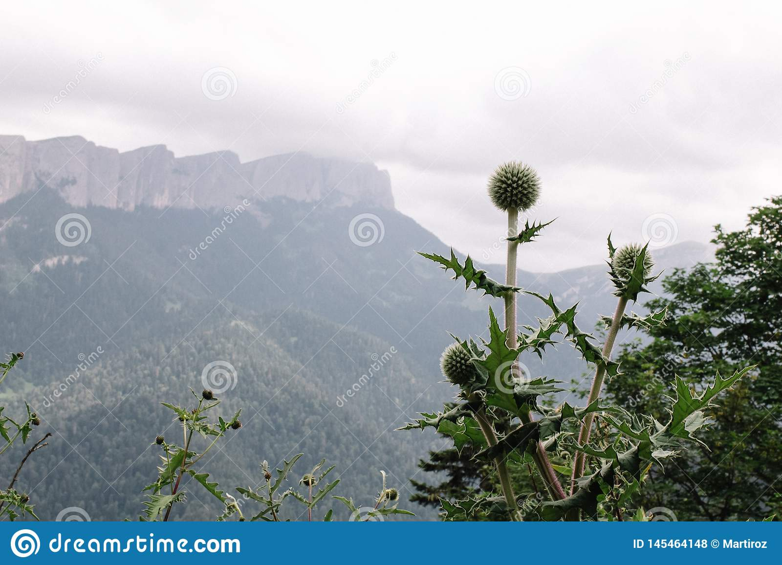 Cirsium vulgare, the, bull thistle, or common thistle with mountain view