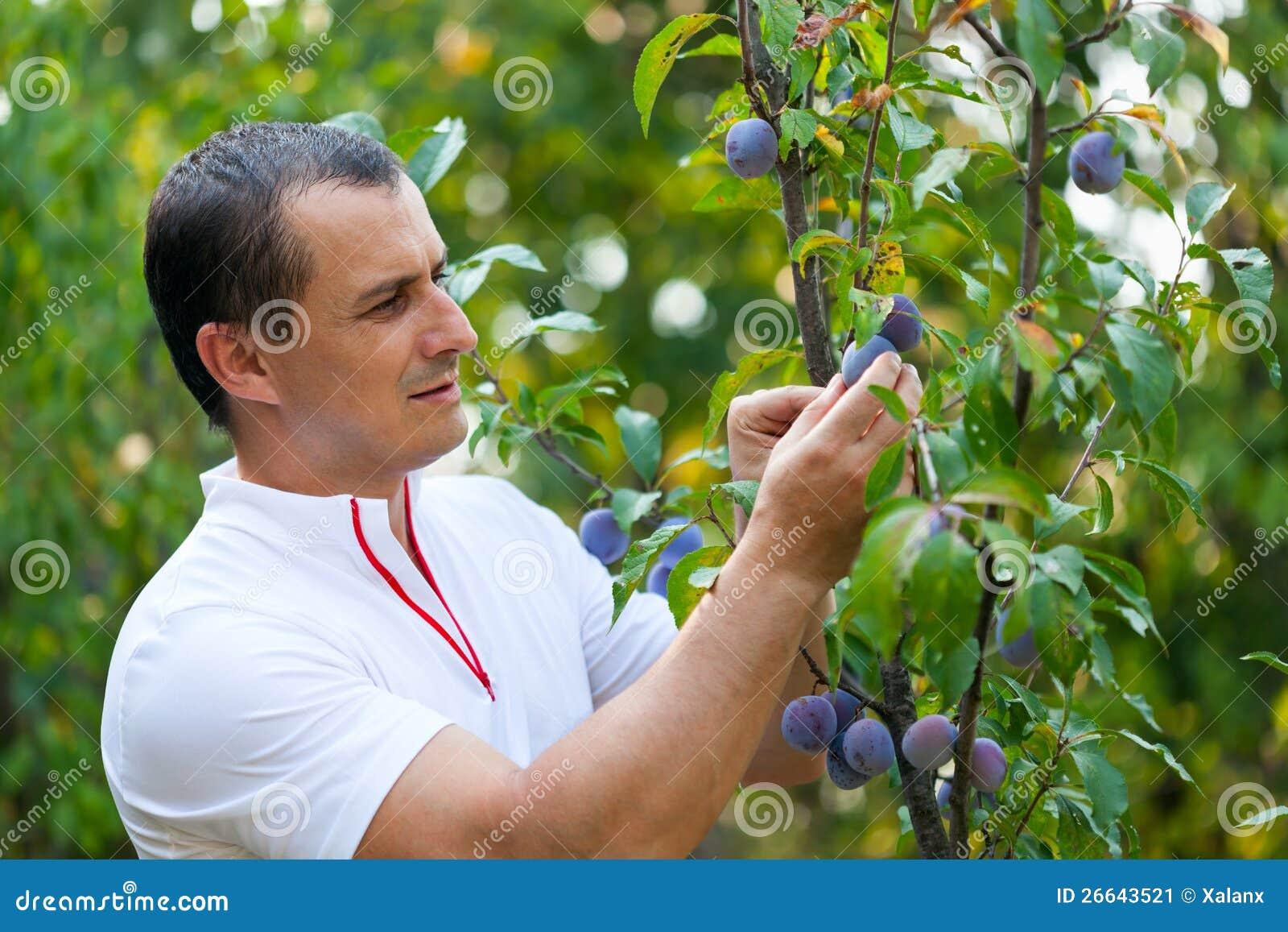 Ciruelos de la cosecha del hombre joven del árbol