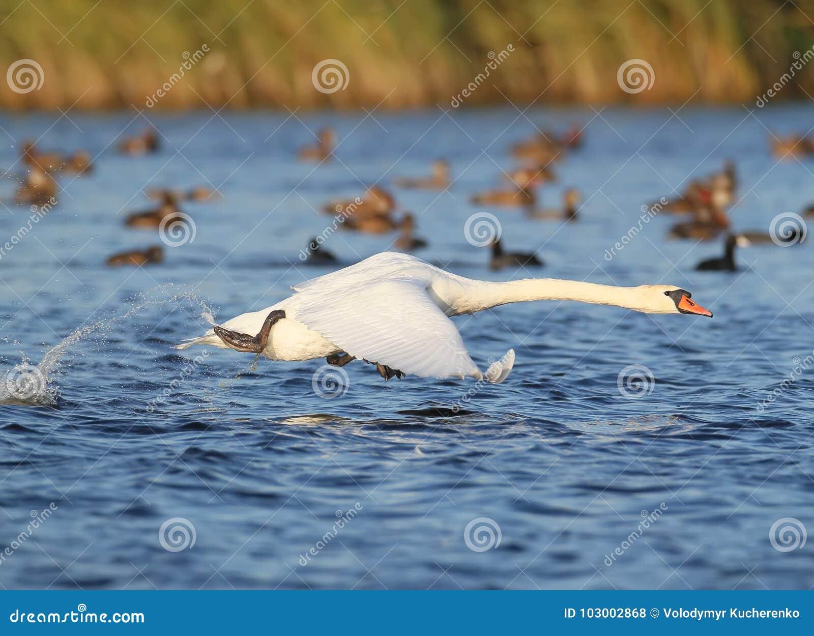 A cisne adulta decola da água com um respingo