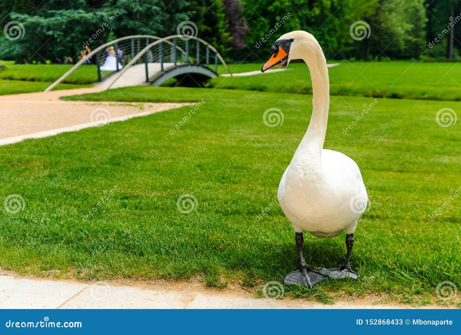 Cisne bonita no parque do palácio do castelo de Vizille com sessão da fotografia do casamento no fundo, Vizille, França