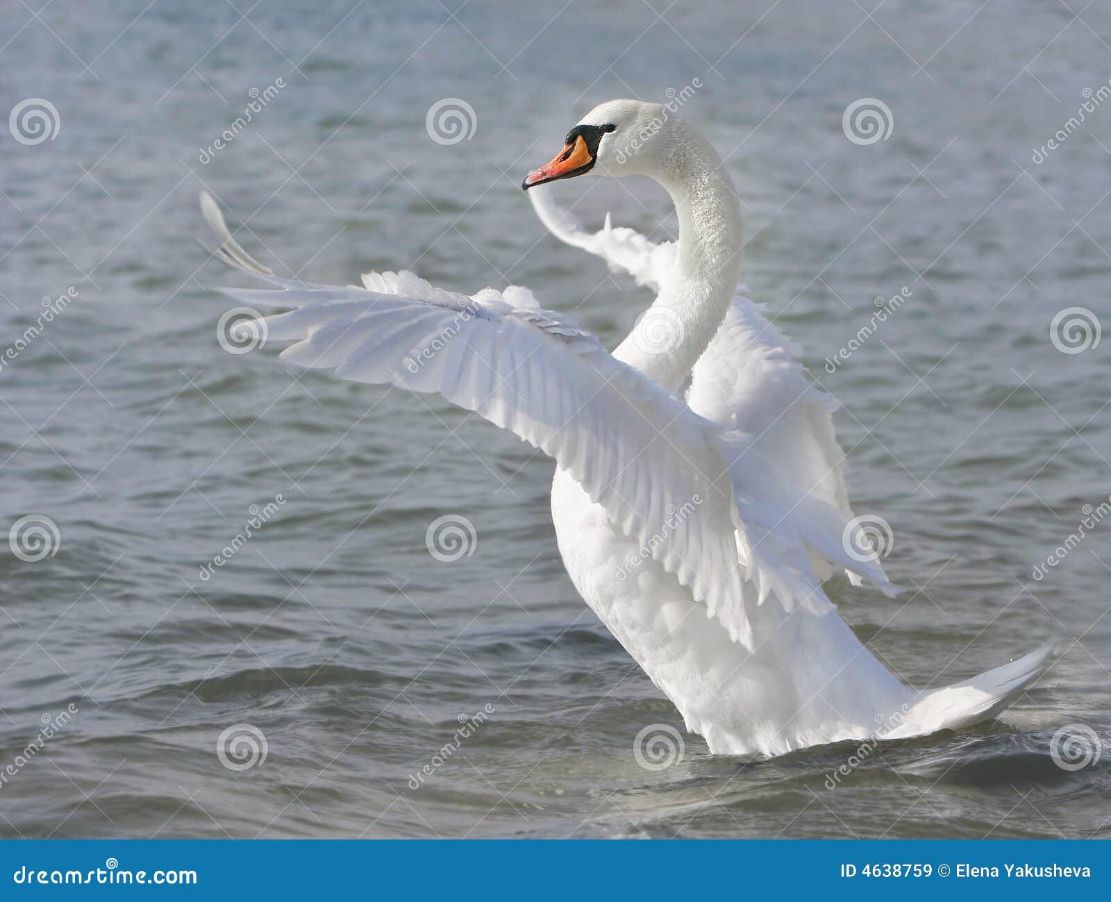 Cisne branca