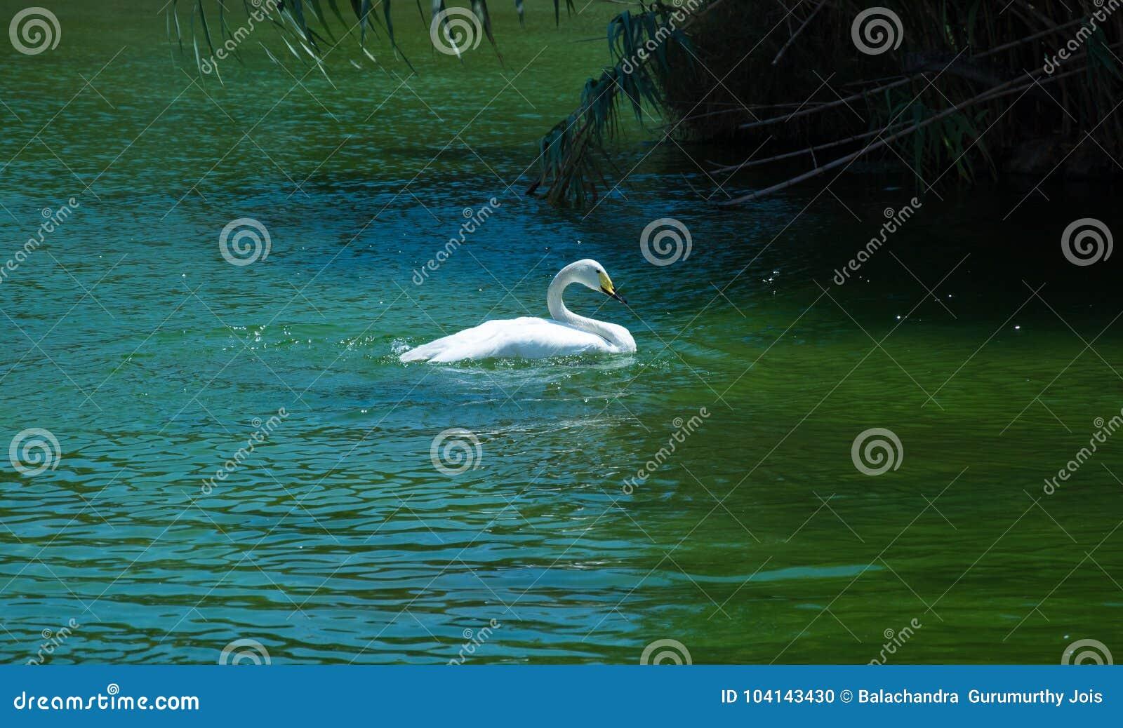 Cisne branca em Valência spain