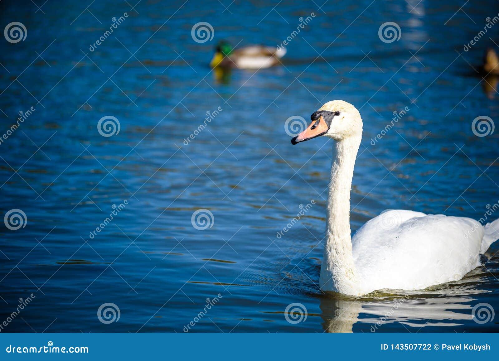 Cisne branca no lago nevoento no alvorecer Luzes da manhã fundo romântico Cisne bonita cygnus Romance da cisne branca com