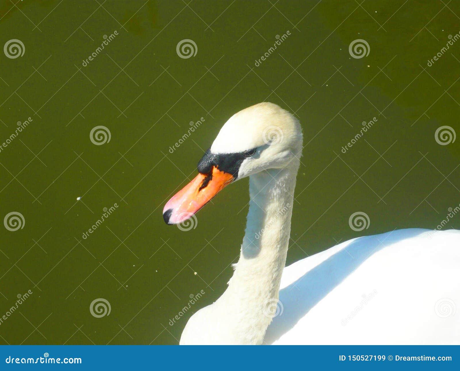 Cisne coloreado blanco elegante P?jaro hermoso