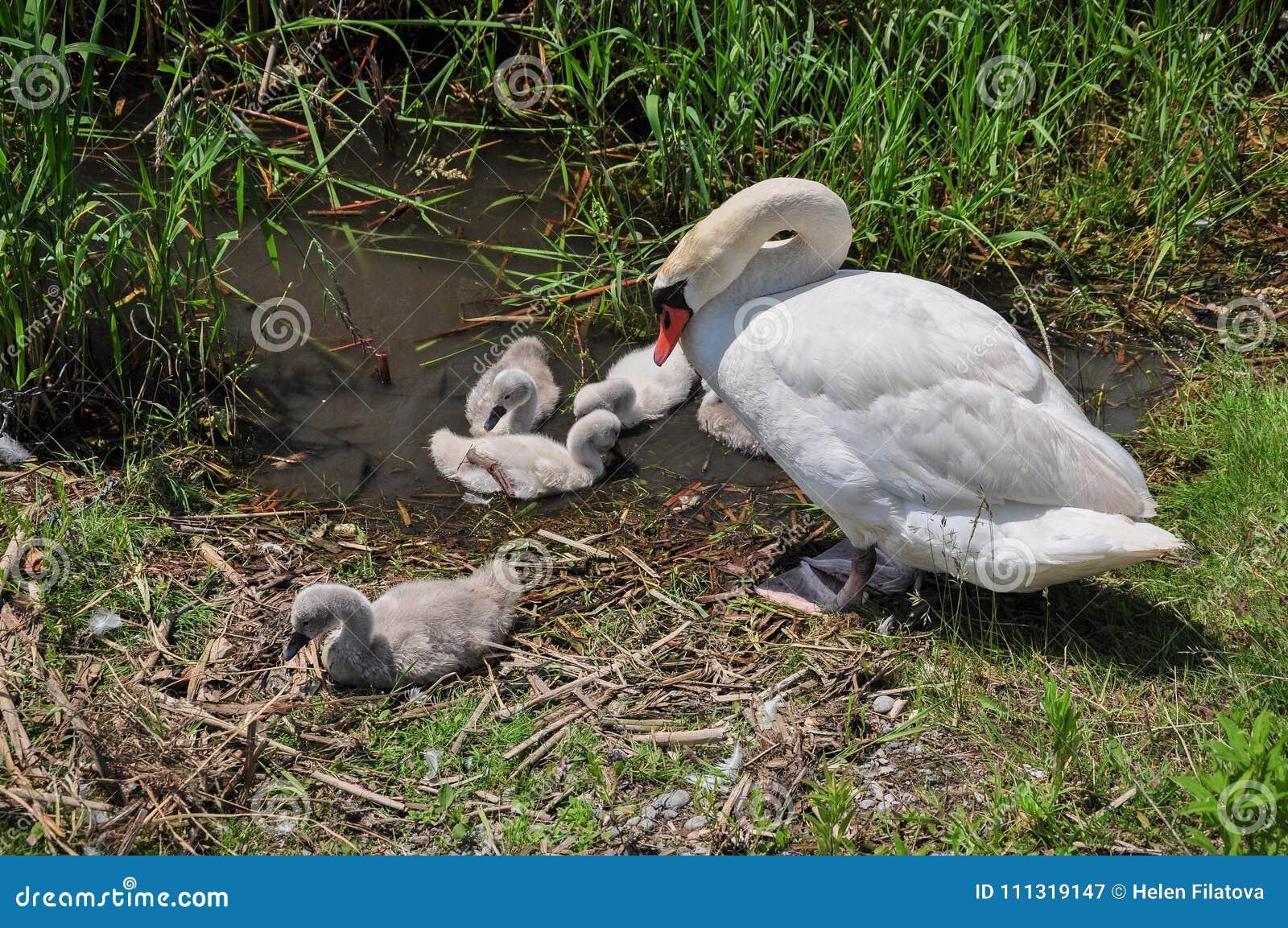 Cisne com cygnets