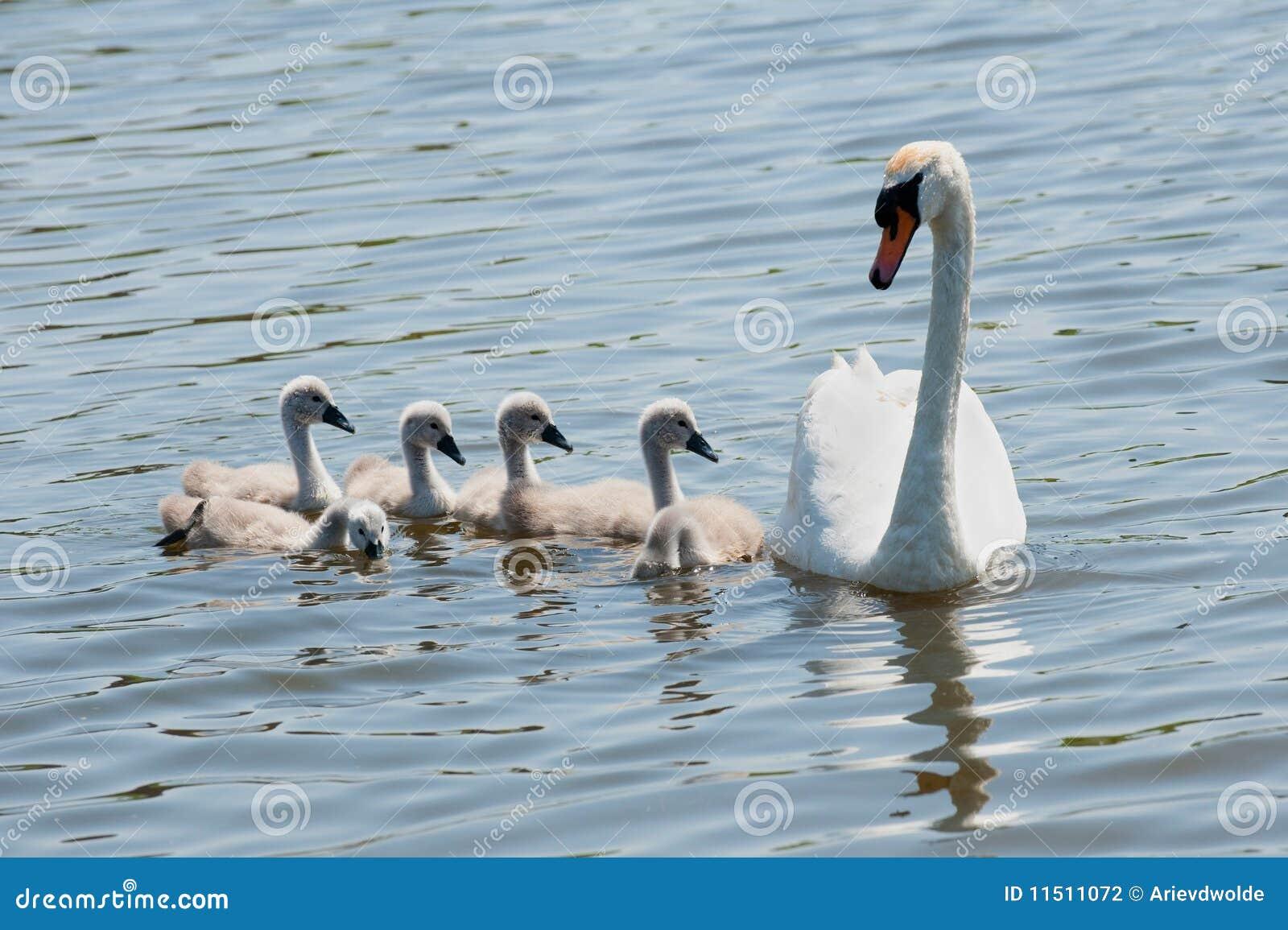 Cisne com jovens