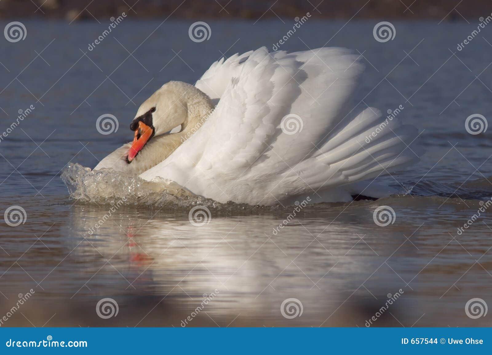 Cisne com onda de curva