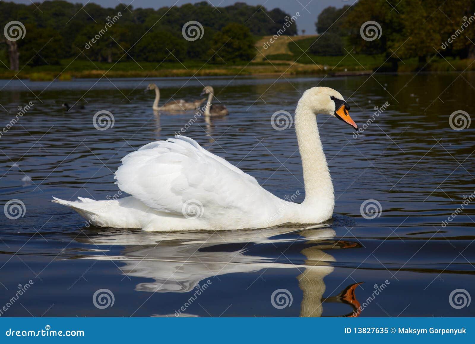 Cisne com os dois que birdling