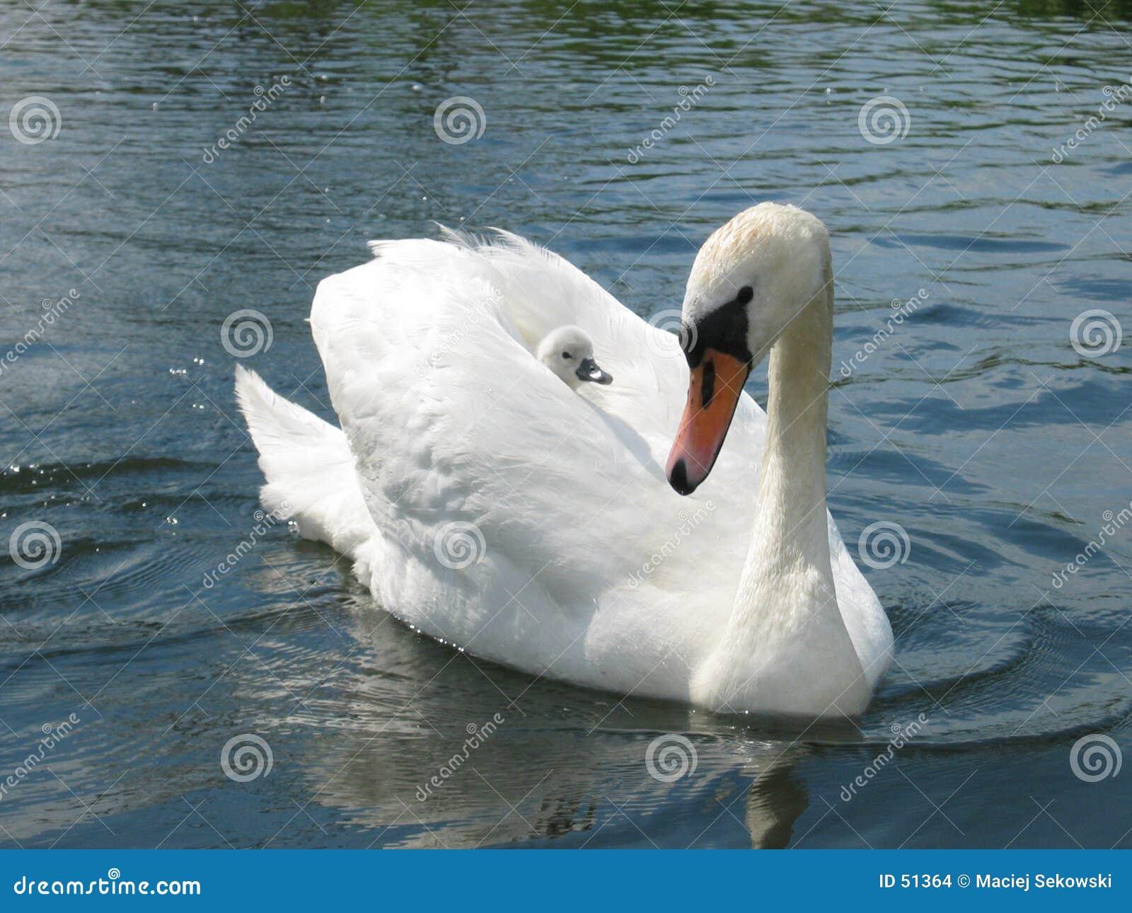 Cisne con el bebé