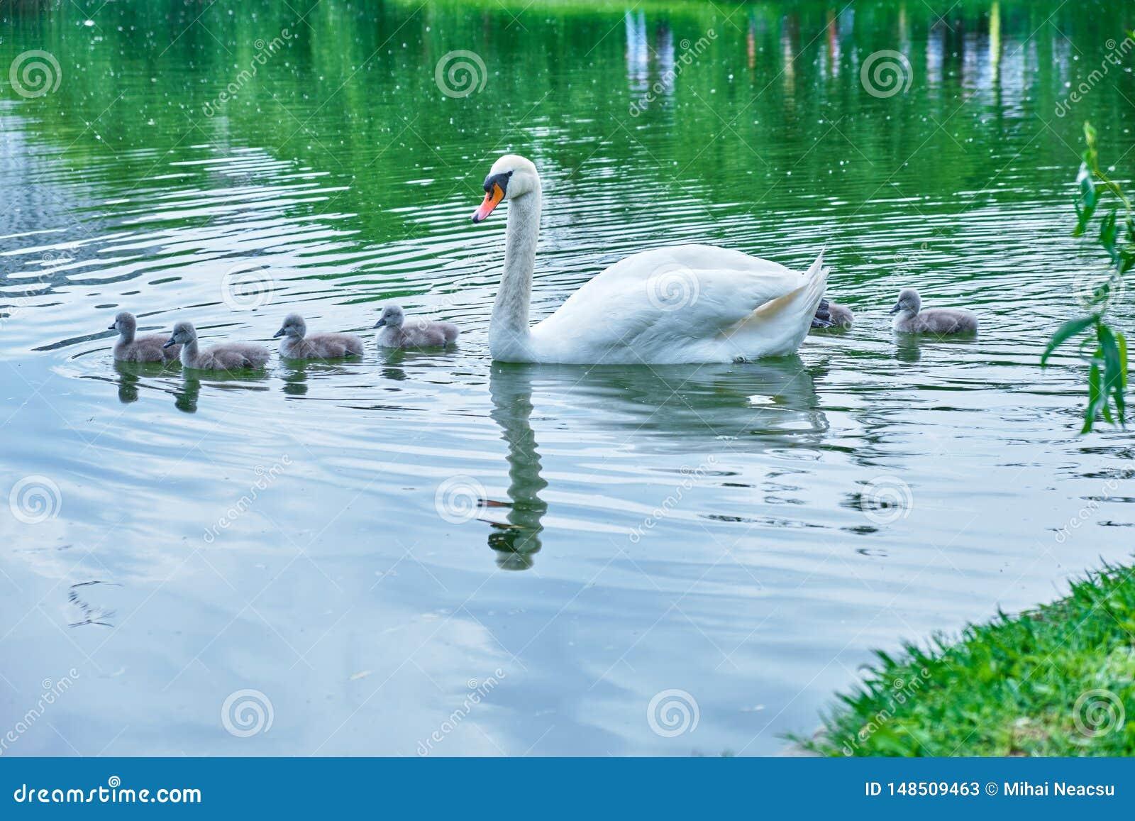 Cisne da mãe com algumas cisnes velhas do bebê dos cisnes novos dos dias que nadam pacificamente, na linha, através de uma lagoa