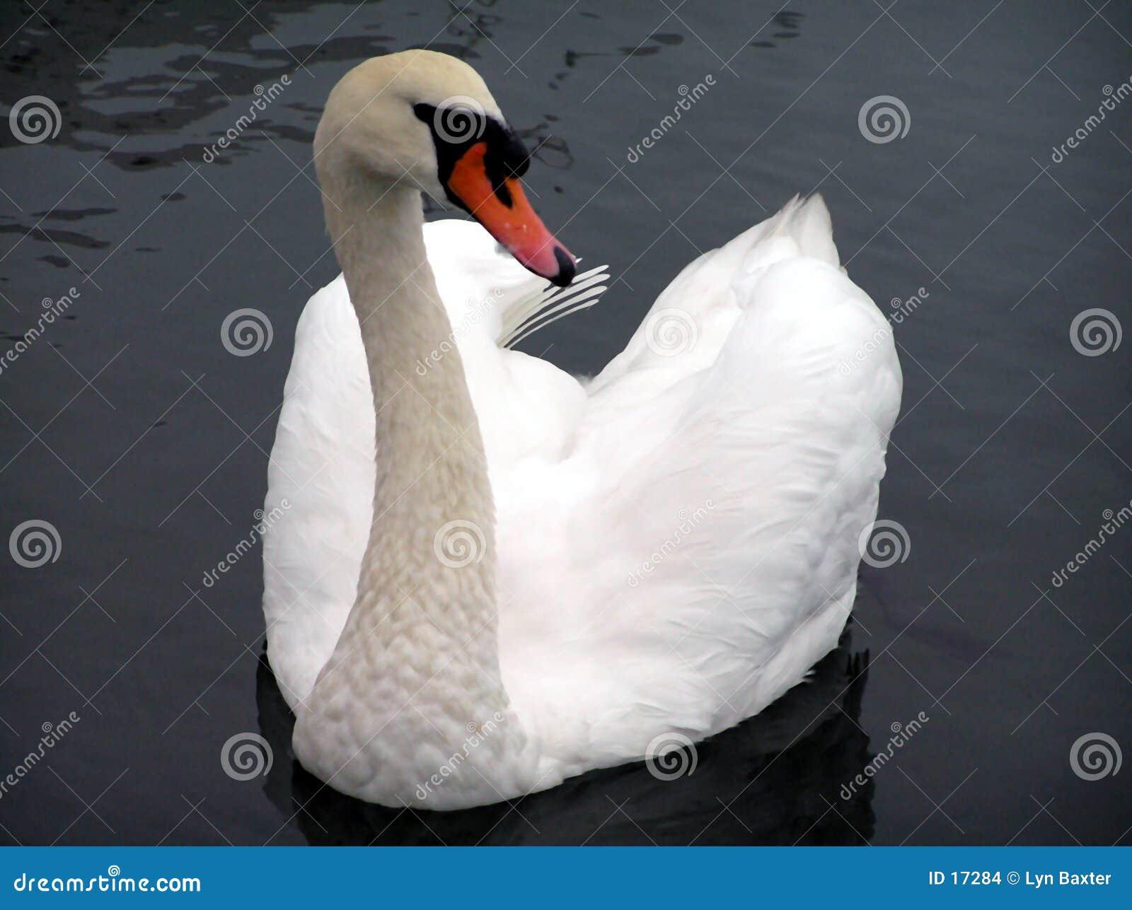 Cisne de Avon