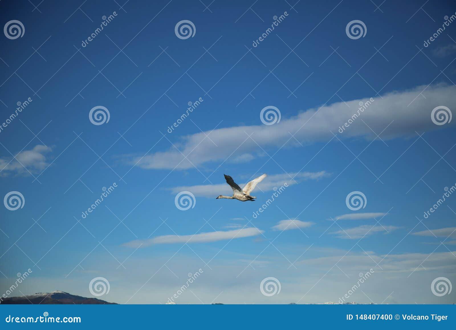 Cisne de voo no c?u