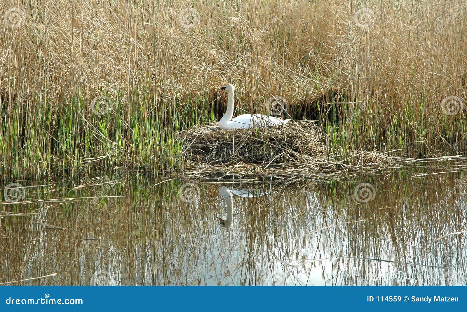 Cisne do assentamento