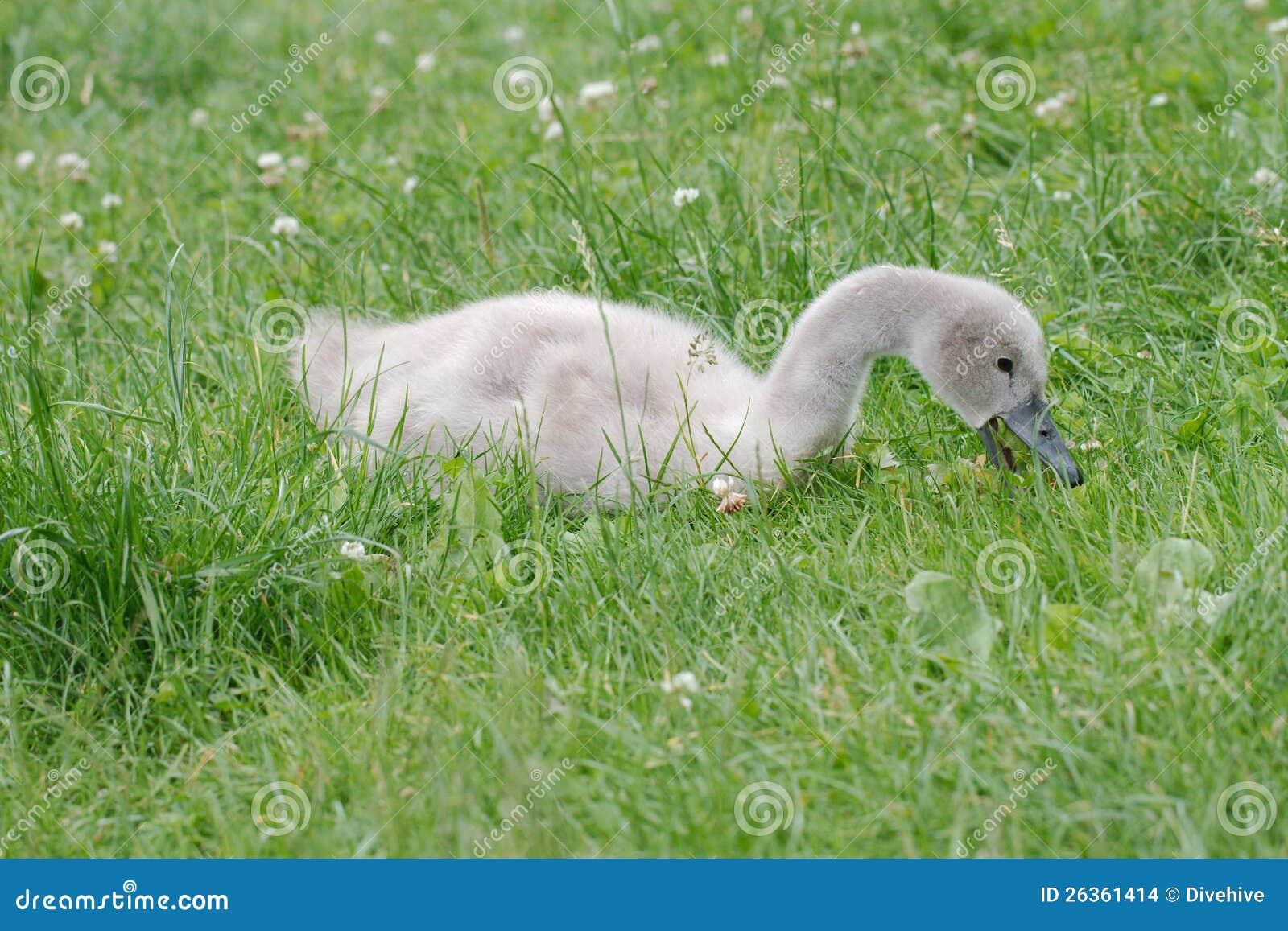 Cisne do bebê que alimenta na grama