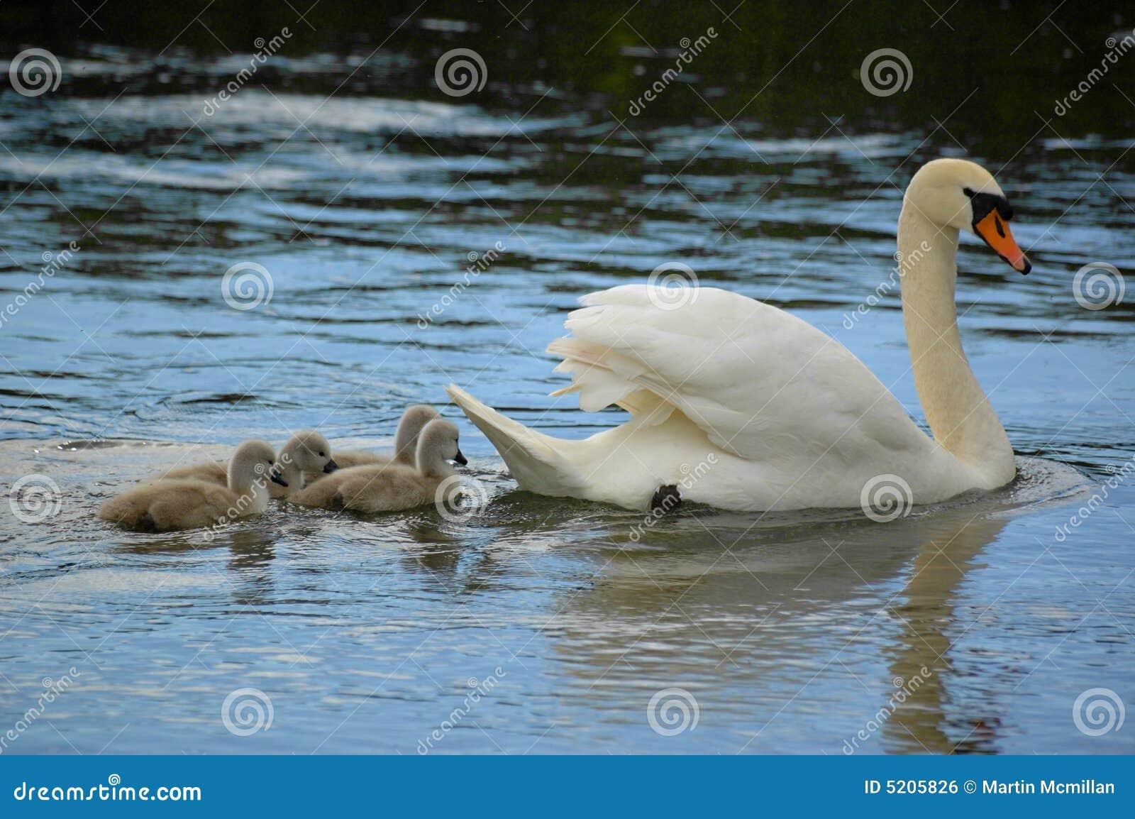 Cisne e cygnets