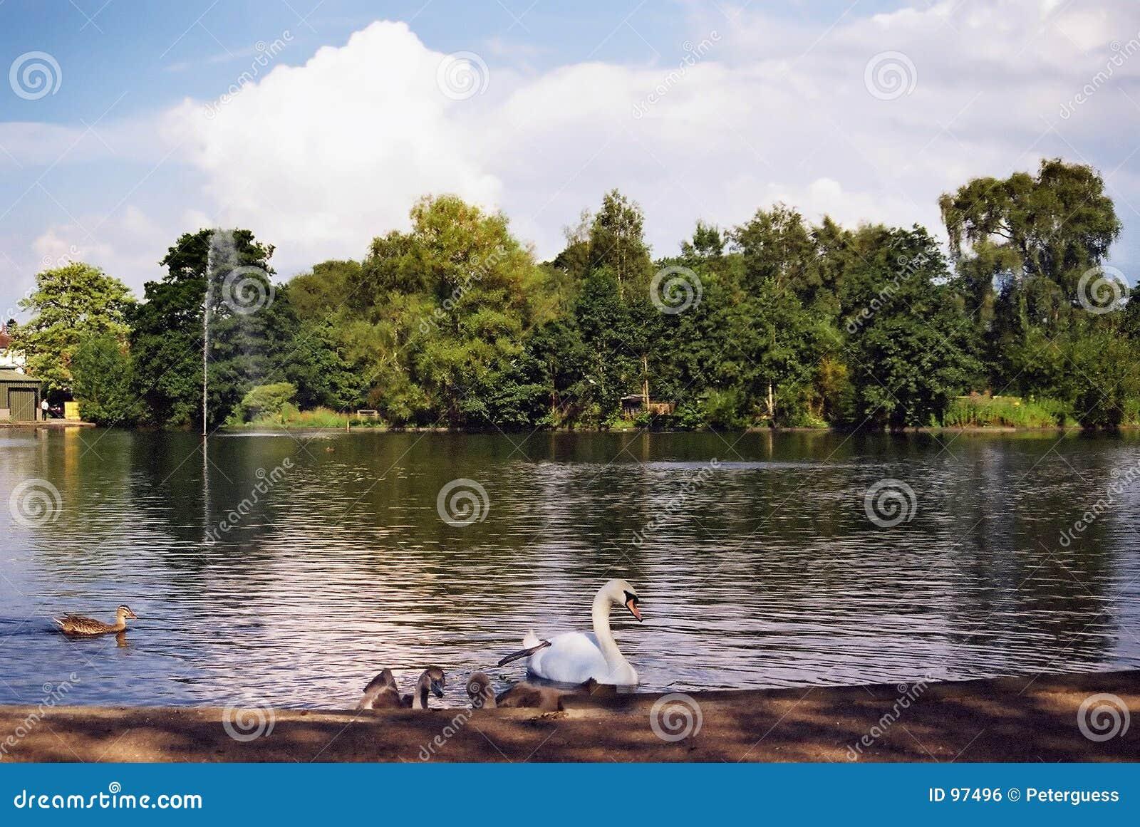 Cisne e Signets em uma lagoa