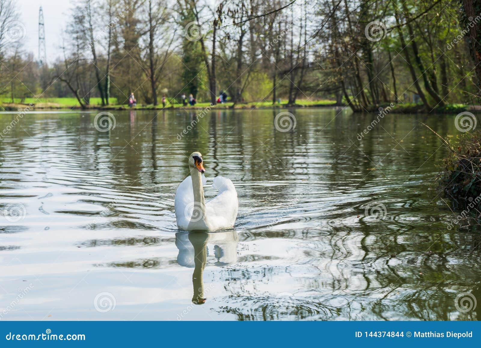 Cisne em um lago
