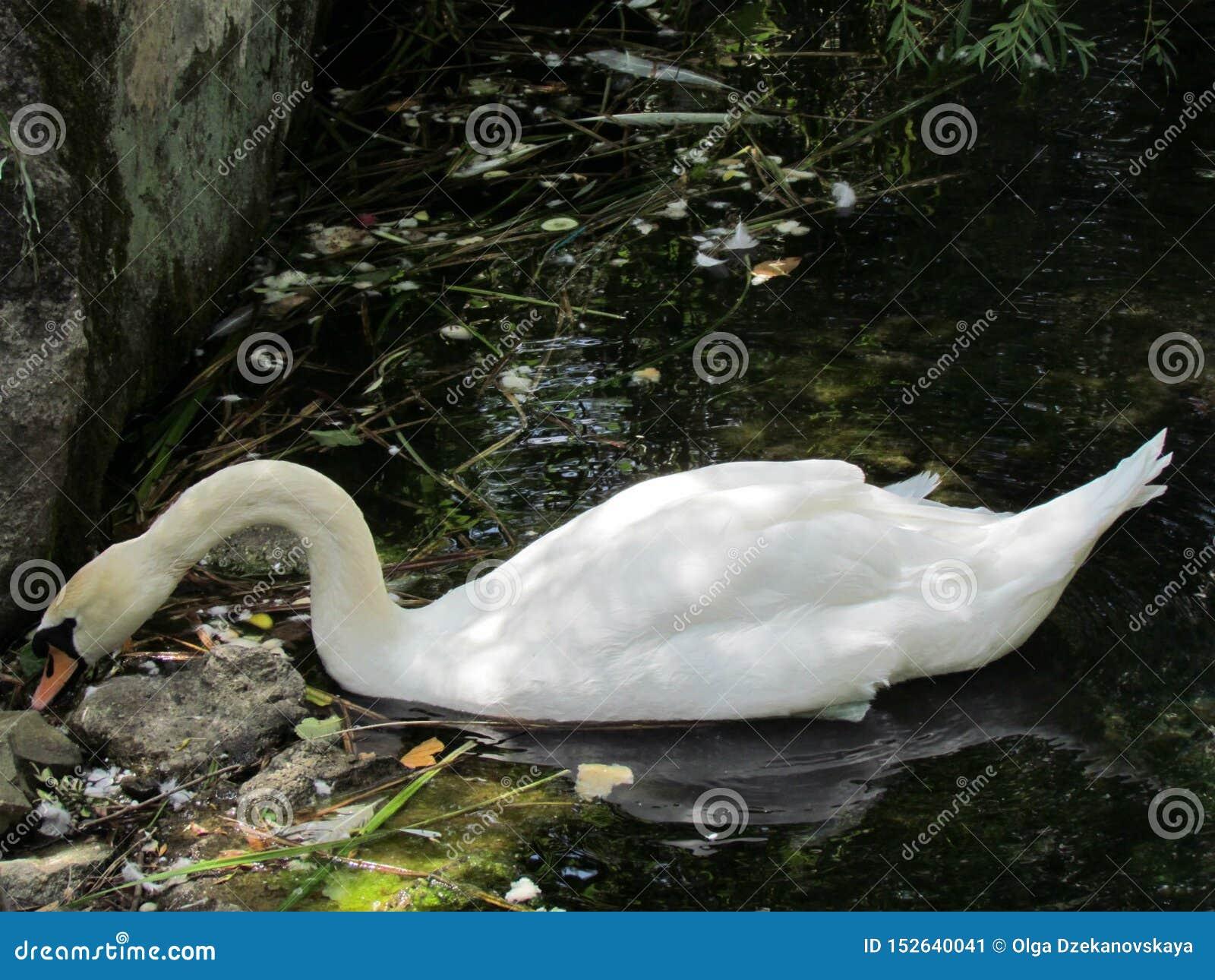 Cisne en el área natural protegida del palacio de Vorontsov