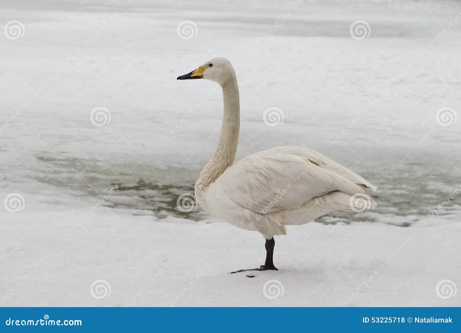 Cisne en el lago en la primavera
