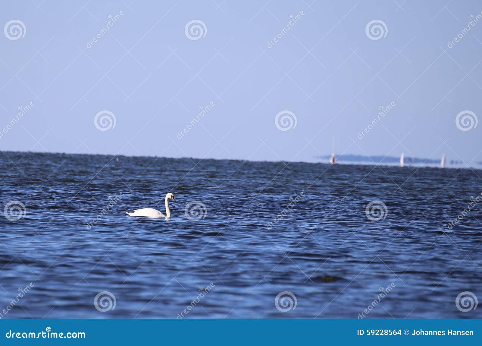 Download Cisne en el mar Báltico foto de archivo. Imagen de fauna - 59228564