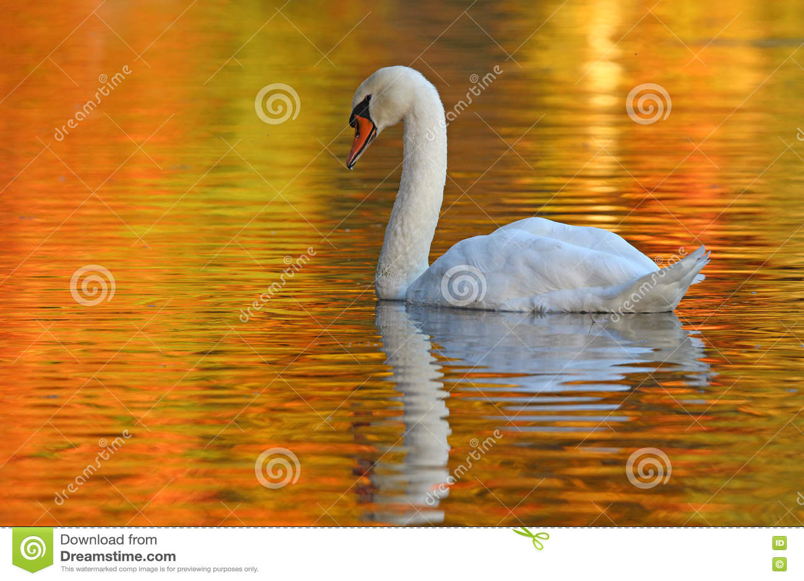 Cisne en una charca de oro