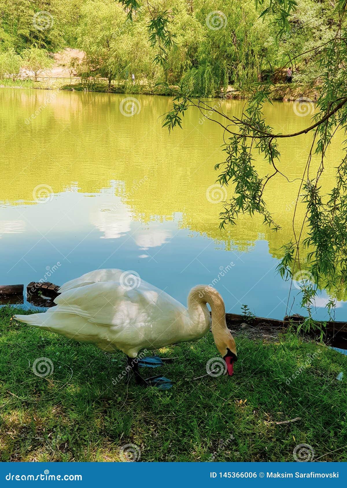 Cisne hermoso que goza cerca del lago Cisne hambriento que come debajo de pequeño árbol