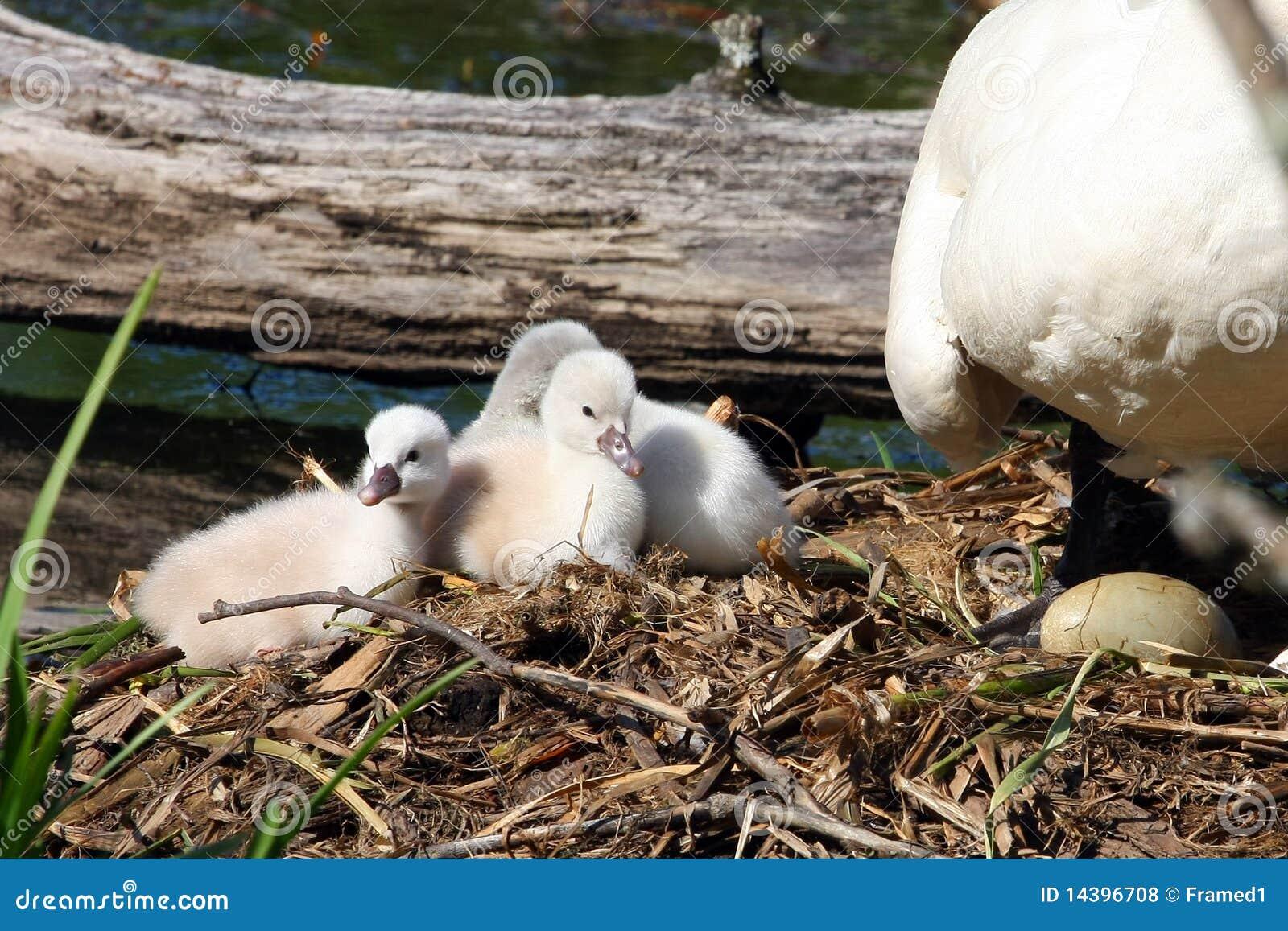 Cisne muda & Cygnets