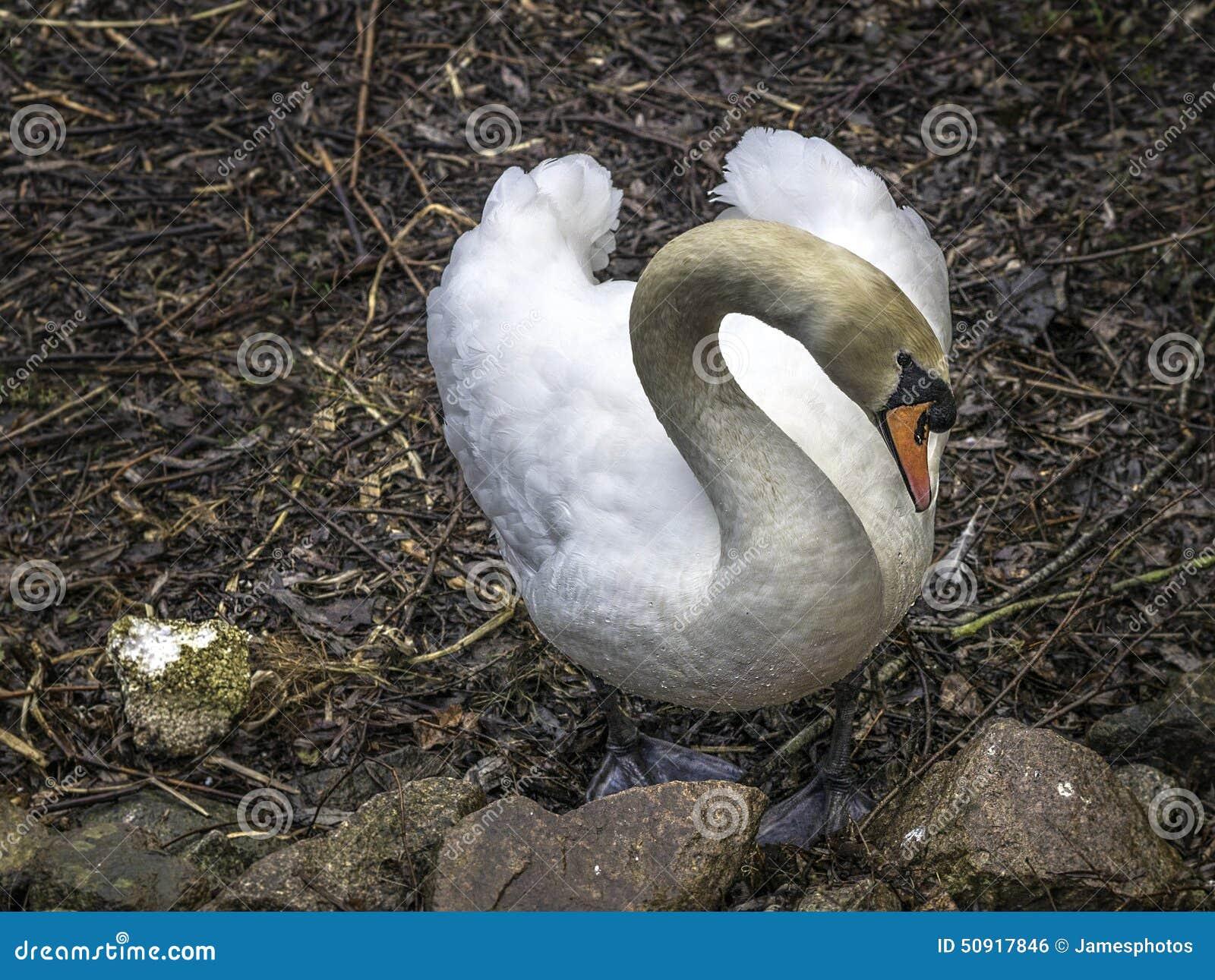 Cisne muda do instinto do assentamento