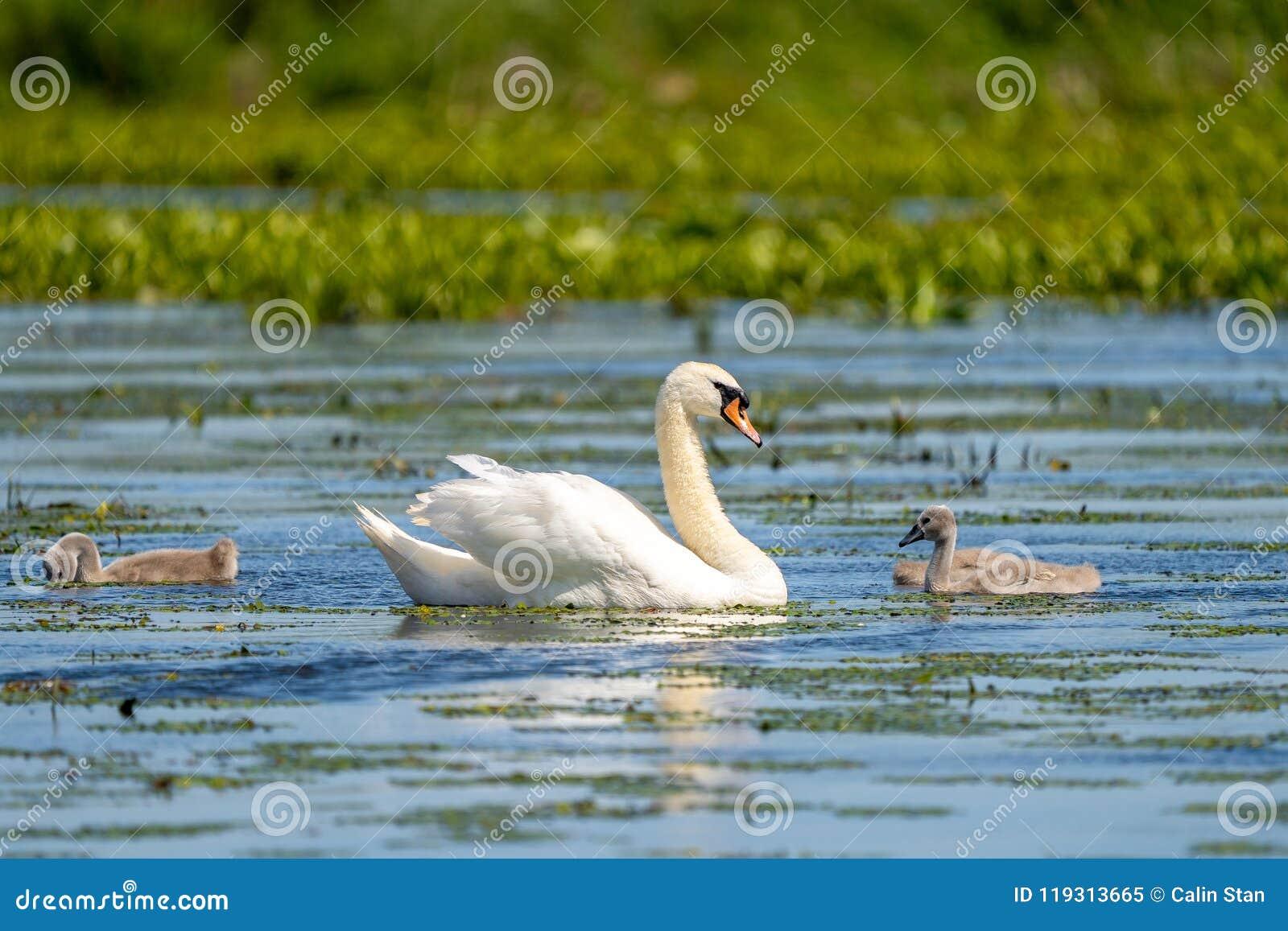 Cisne muda e Cygnets
