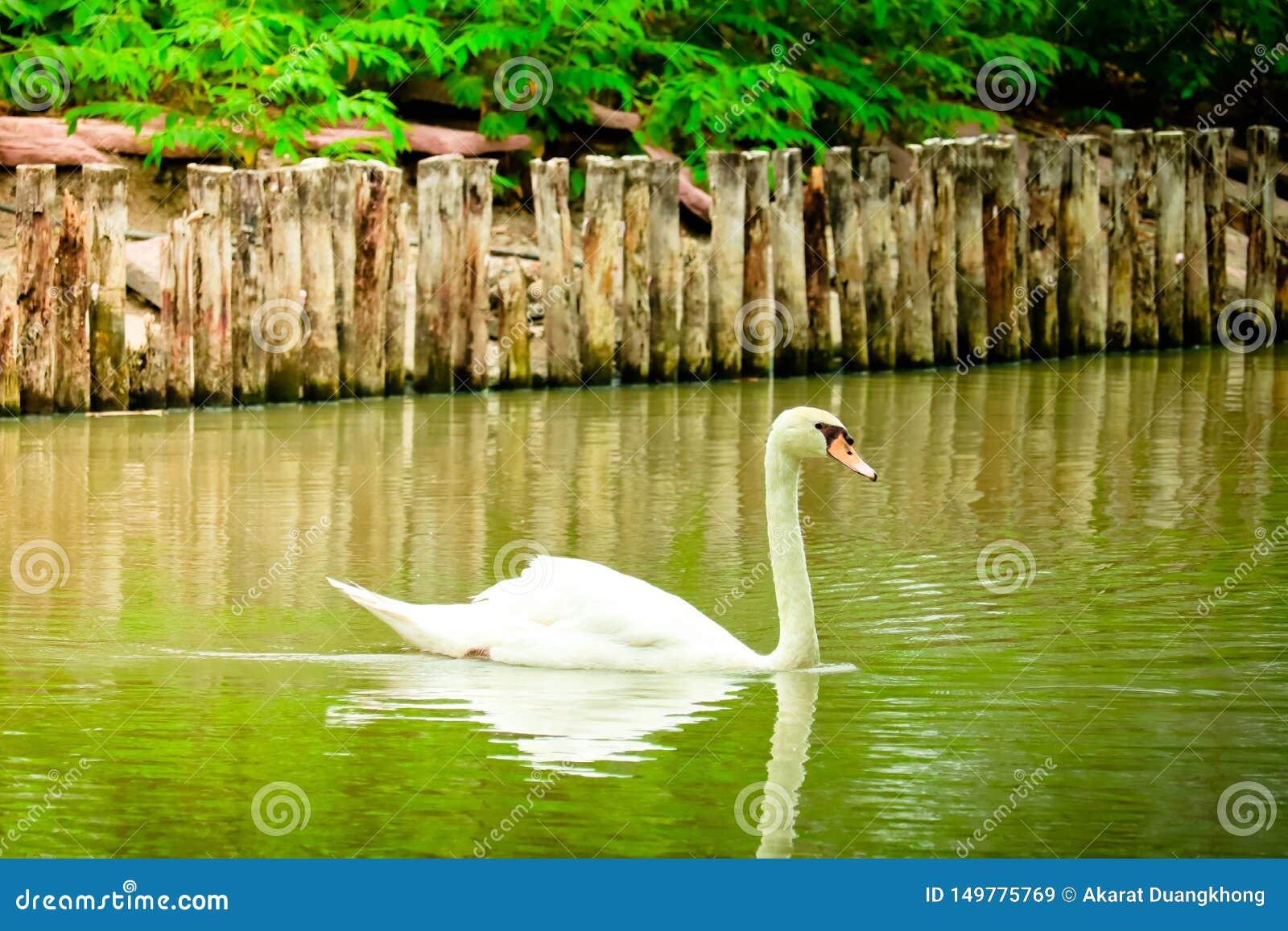 A cisne muda está nadando