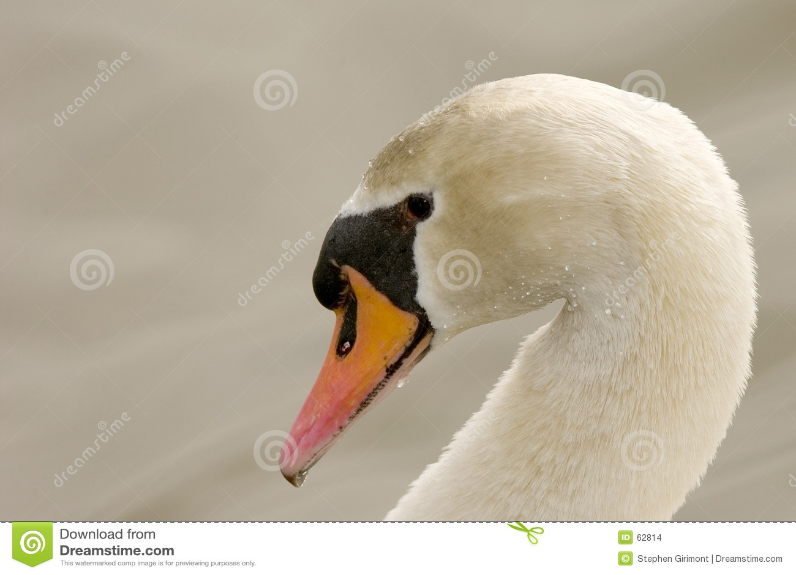 Cisne muda (olor do Cygnus)