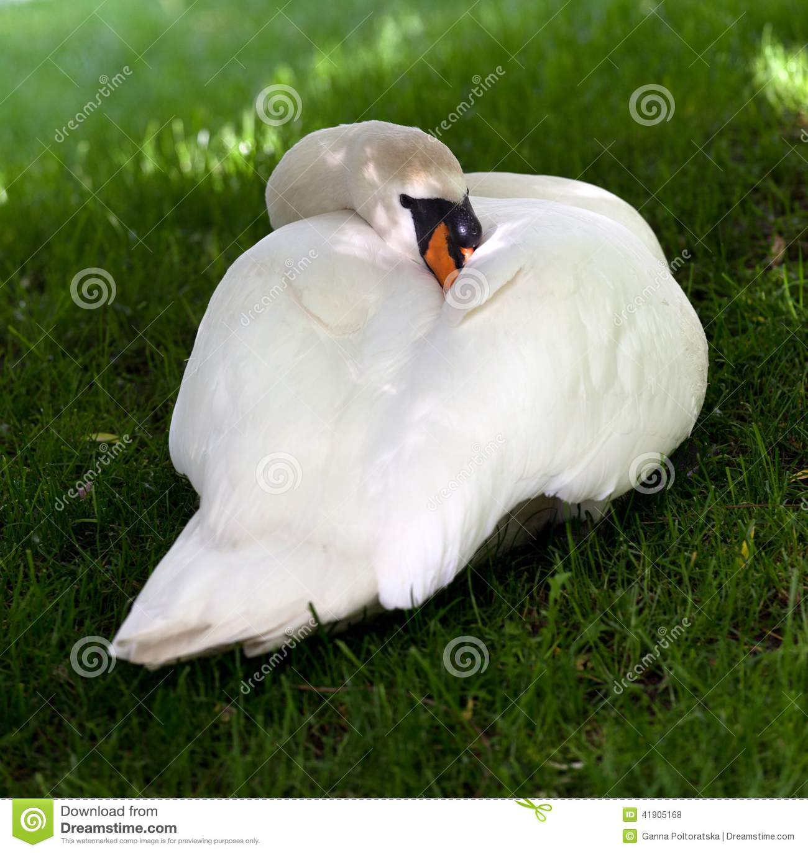 Cisne mudo en hierba verde