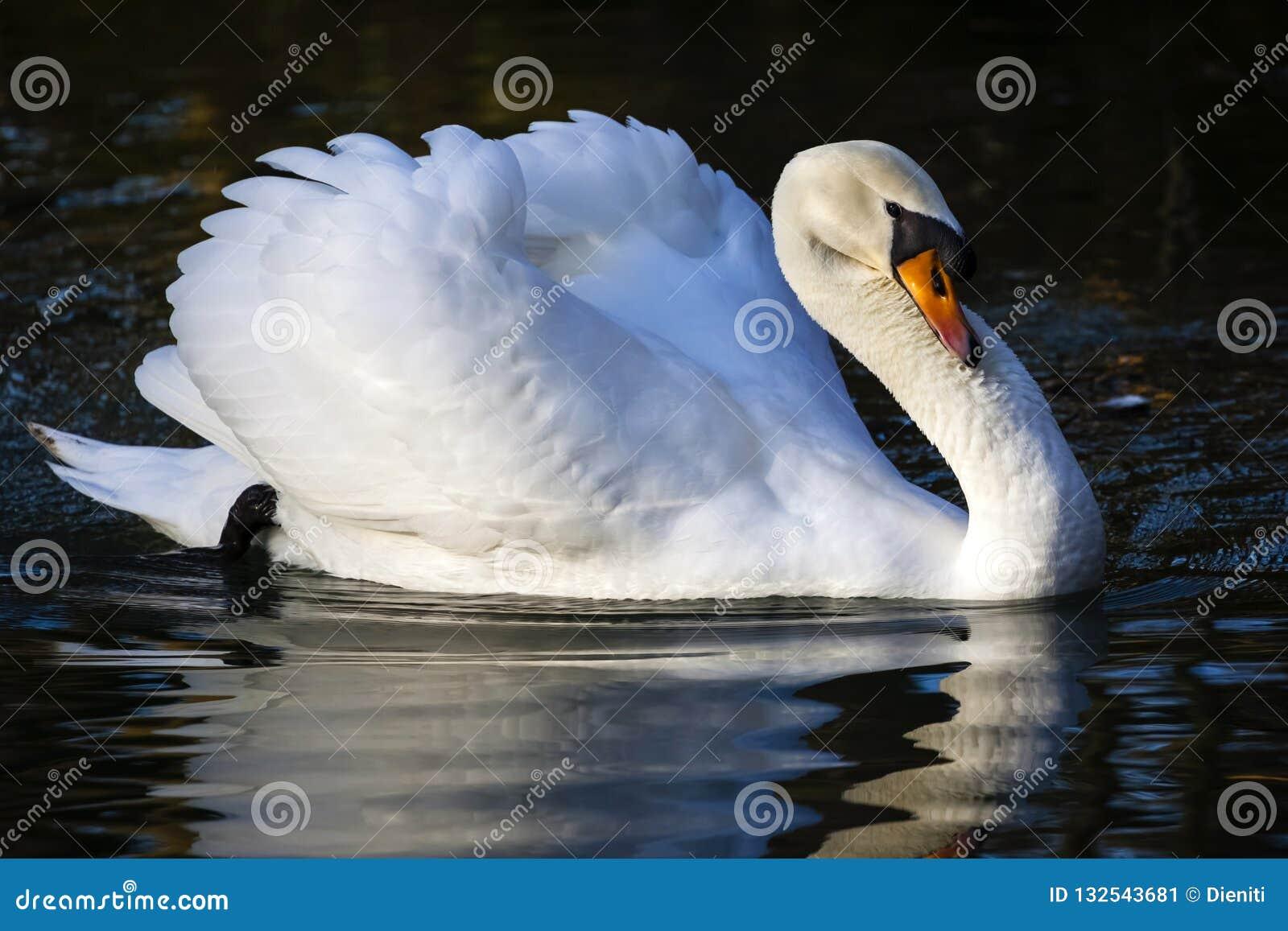 Cisne mudo/olor del Cygnus