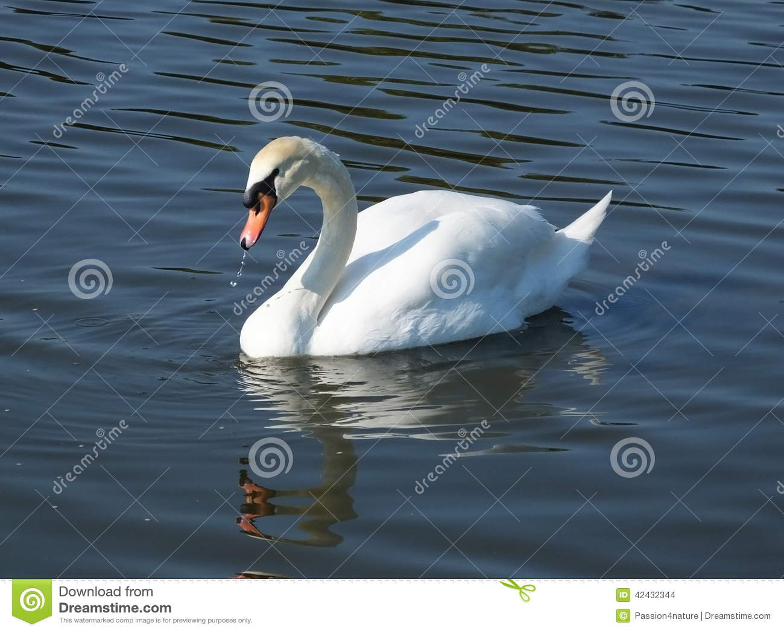 Cisne mudo (olor del Cygnus)