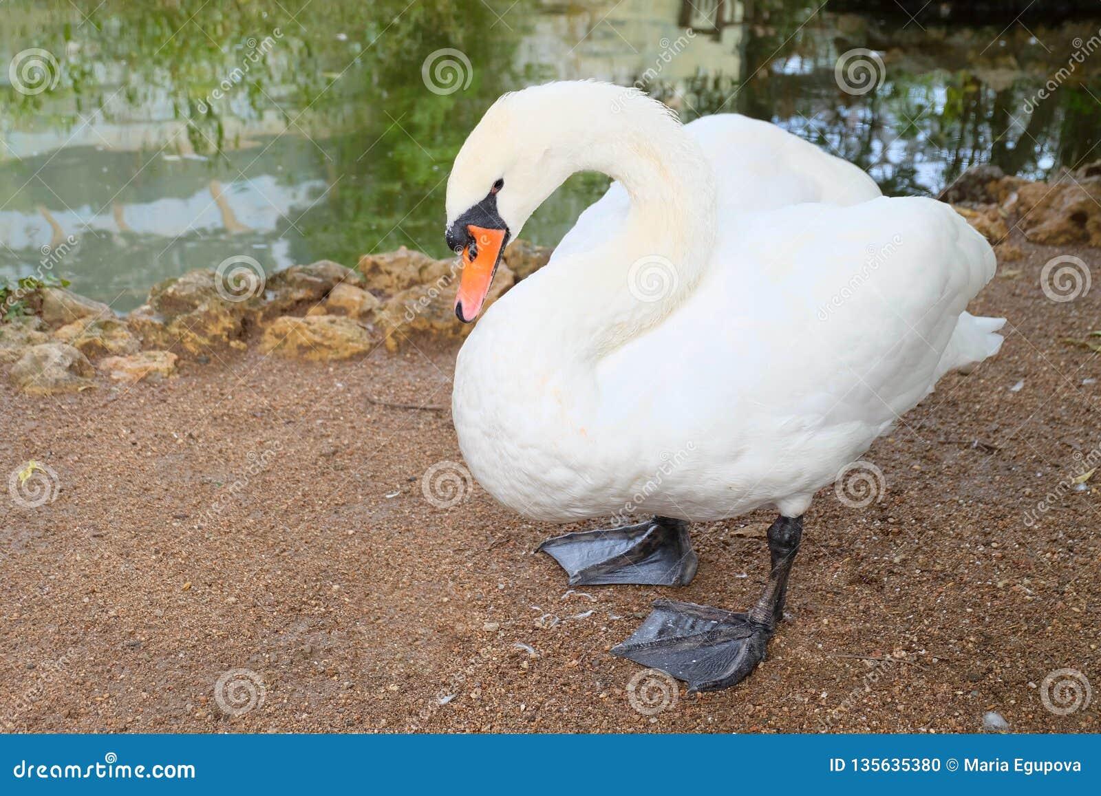 Cisne no jardim zoológico