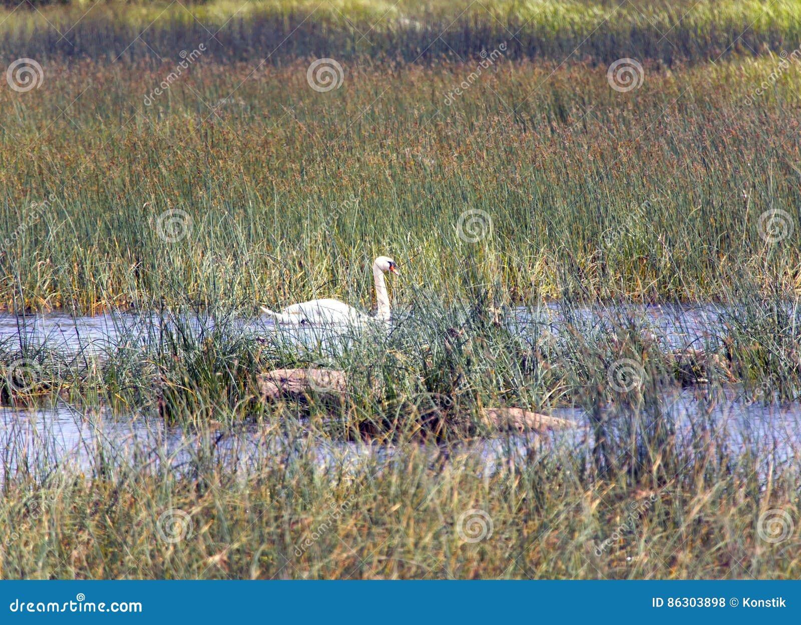 Cisne no lago, em um ambiente de uma grama verde e de pedras