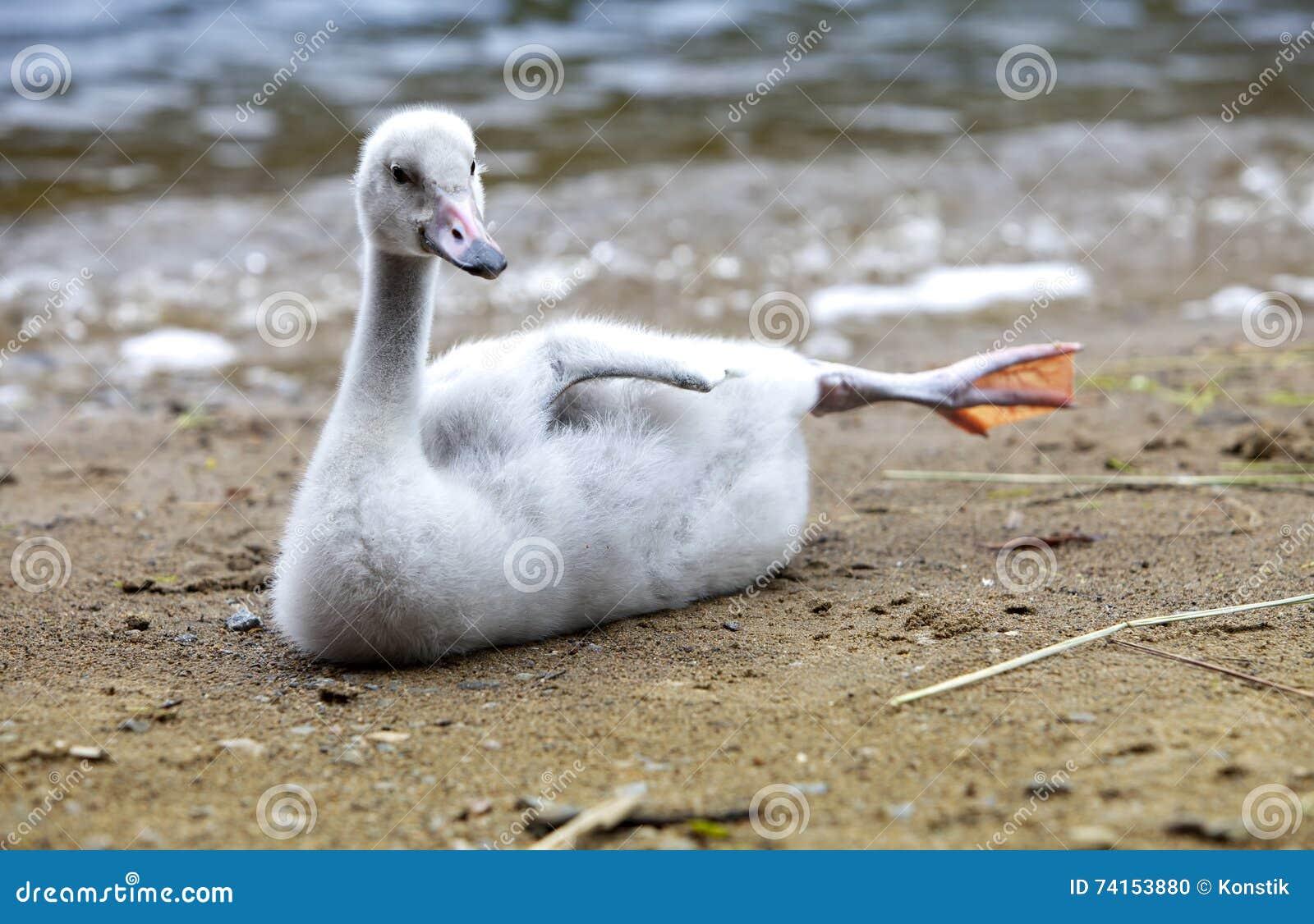 A cisne nova no banco do lago