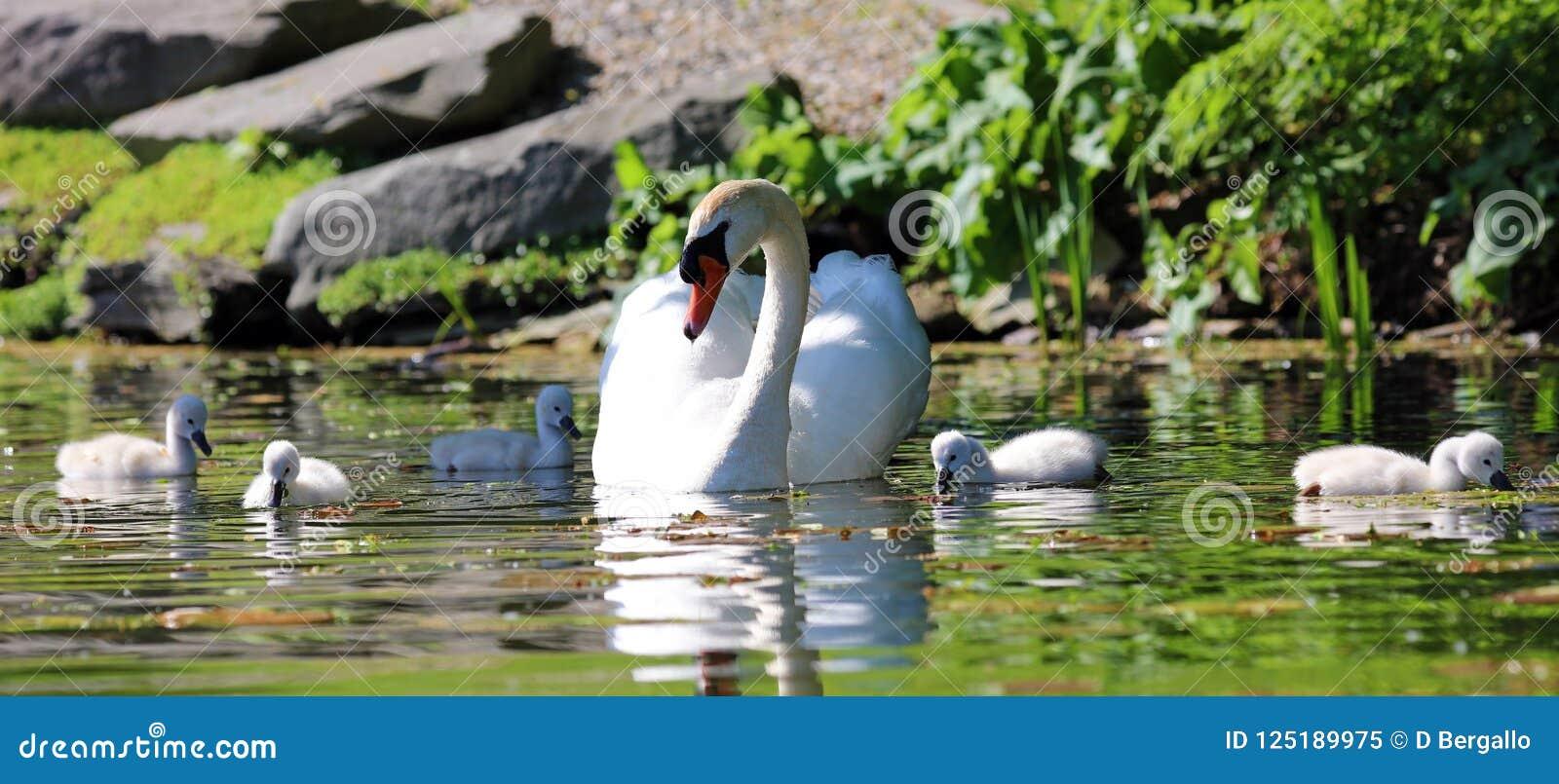Cisne original com bebês em um lago, foto alta da definição deste aviário maravilhoso em Ámérica do Sul