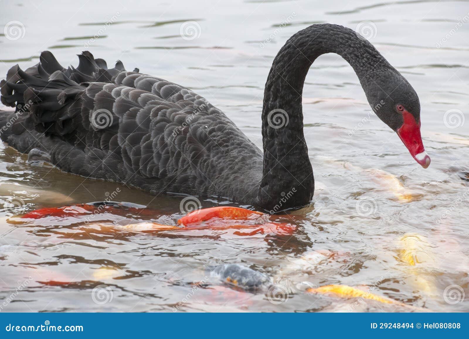 Download Cisne preta foto de stock. Imagem de preto, cabeça, curva - 29248494