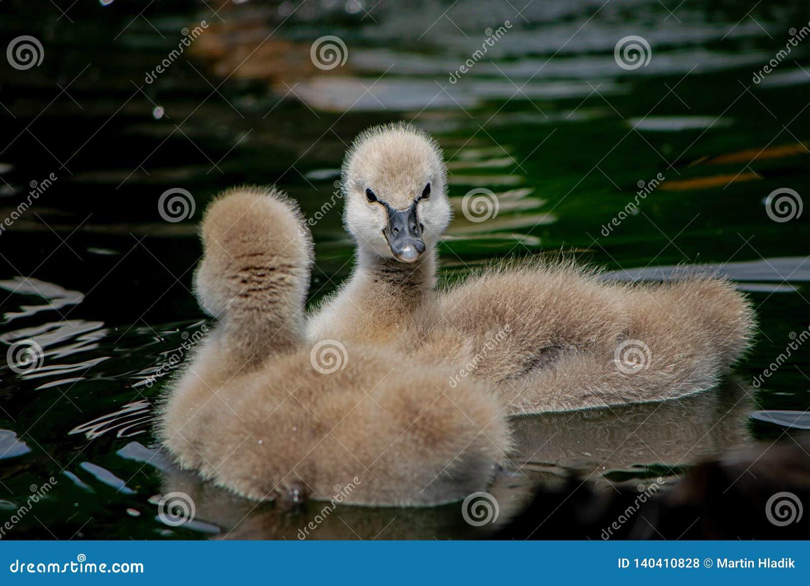 Cisne preta - bebê, bonito, waterbird