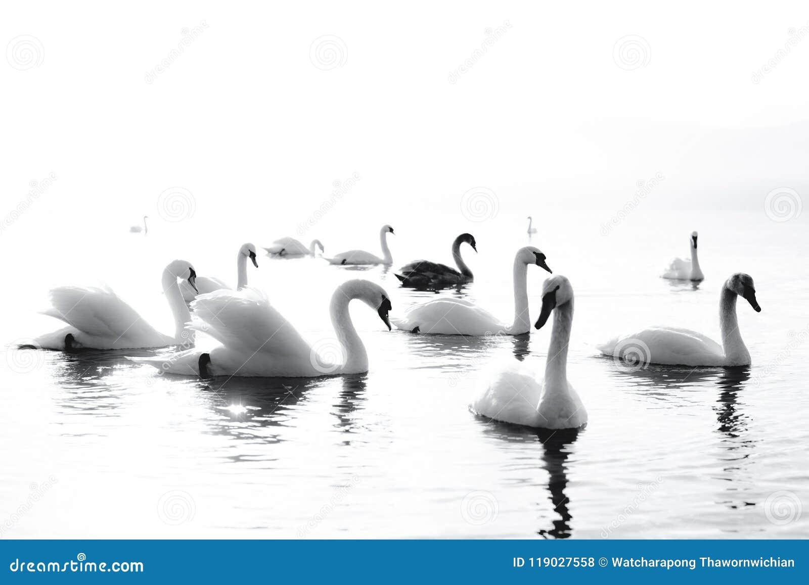 Cisne preto e branco