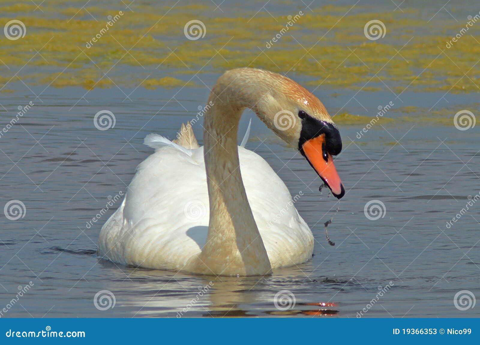 Cisne que come o kelp