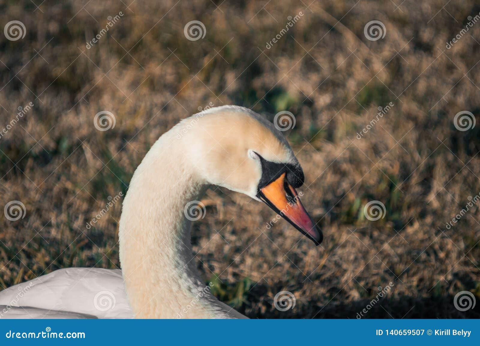 Cisne que descansa en el parque
