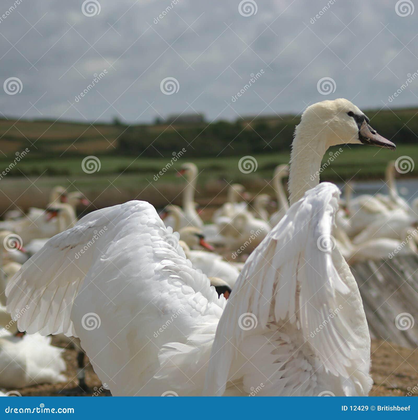 Cisne que flexiona suas asas