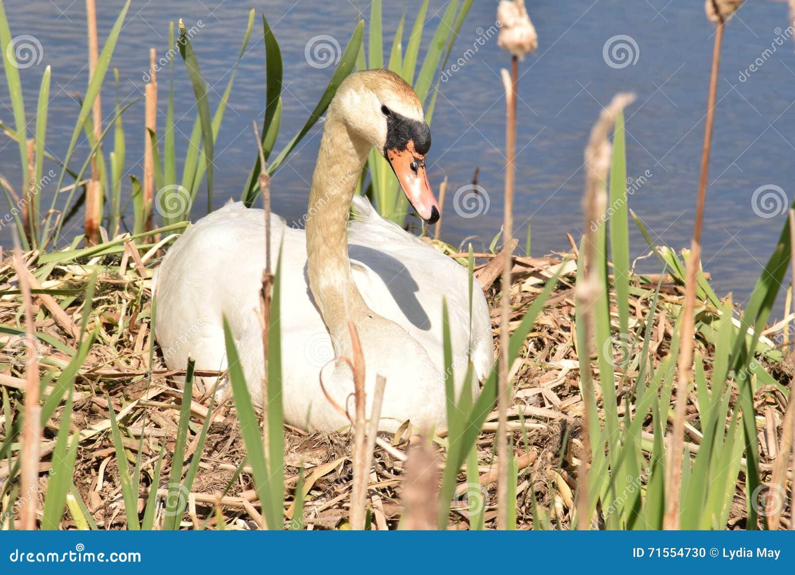 Cisne que senta-se em ovos de espera do ninho para chocar